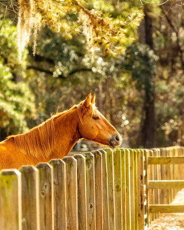 Beautiful chestnut horse at a farm in the country