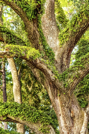 tallahassee: Large oak tree covered with ferns and ivy in the coutryside of Tallahassee, Florida