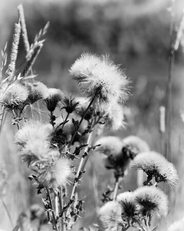 special effect: Dried wildflowers in black and white soft tone special effect