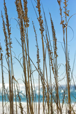 Close up of sea grass with the Gulf of Mexico in the background