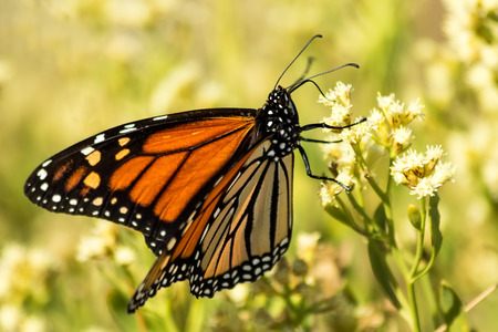 Gros plan d'un papillon monarque sur une fleur jaune Banque d'images - 35094638