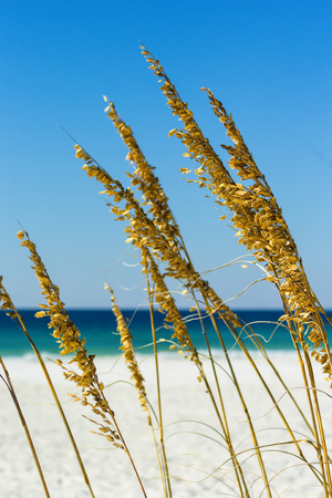 sea grass: Close up of sea grass with the Gulf of Mexico in the background