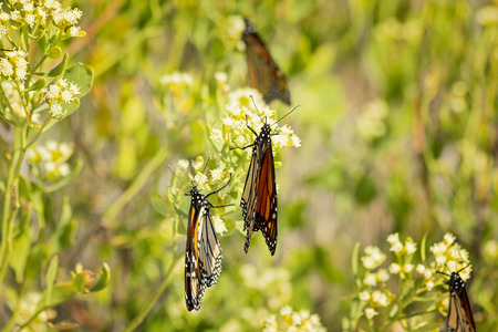 migrate: Multiple Monarch butterflies on bush as they prepare to migrate south.