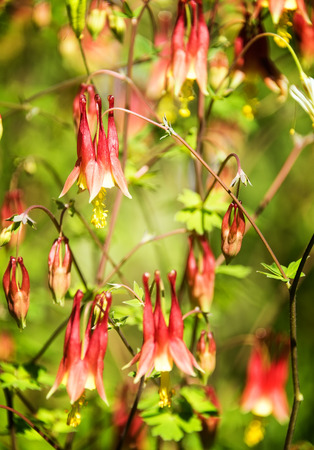 Honeysuckles are arching shrubs or twining vines, native to the Northern Hemisphere. Banco de Imagens