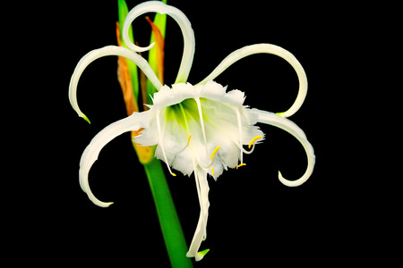 spider lily: Beautiful white spider lily against a black background Stock Photo
