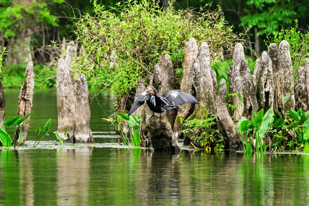 tallahassee: Anhinga bird drying off its wings in the Wakulla State Park River, Florida