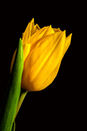 yellow stem: Single yellow tulip against a black background Stock Photo