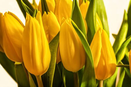 yellow blossom: Bouquet of yellow tulips against a white background