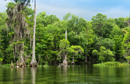 cypress tree: Wakulla Springs State Park and river is one of the largest and deepest freshwater springs in the world.