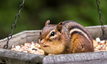 ardilla listada: cute ardilla agarrando una semilla, o dos, de alimentador de aves.