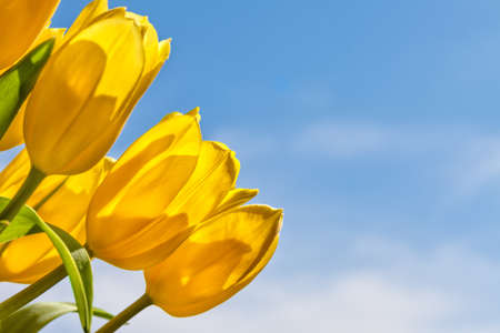 yellow blossom: Bouquet of yellow tulips against a blue sky Stock Photo