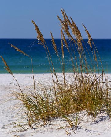 avena: Hierba del mar en las playas blancas de Destin, Florida