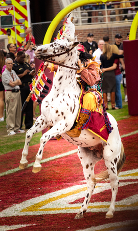 tallahassee: Tallahassee, FL - Nov. 23, 2013:  Seminole mascot Chief Osceola on his horse, Renegade, are a tradition at home games at Florida State University. The Chief rides to midfield with a burning spear and plants it in the turf.  This has been an FSU tradition