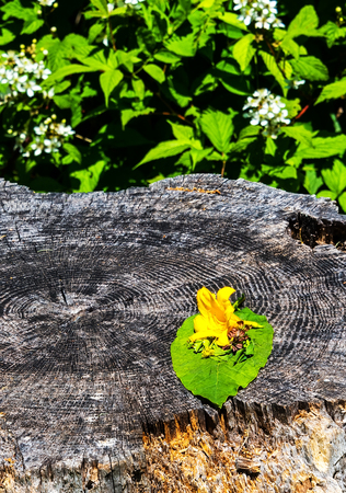 yellow flower tree: Day lily flower on a wooden stump