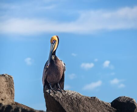 cabo: Beautiful brown pelican sitting on the rocks in Cabo San Lucas, Mexico Stock Photo