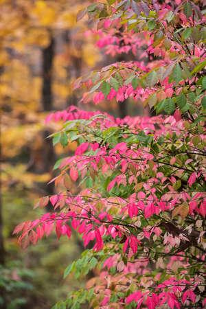 burning bush: Crimson Burning Bush in Autumn