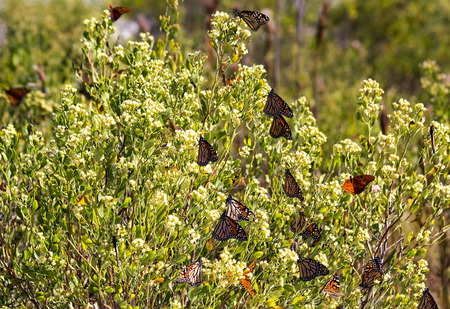 migration: Orange Monarch butterflies in Florida during their winter migration south. Stock Photo