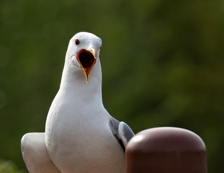 alaska: Vocal seagull in Alaska