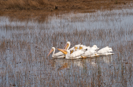 refuge: A group of white pelicans herding for food at the St. Marks National Wildlife Refuge, Florida Stock Photo
