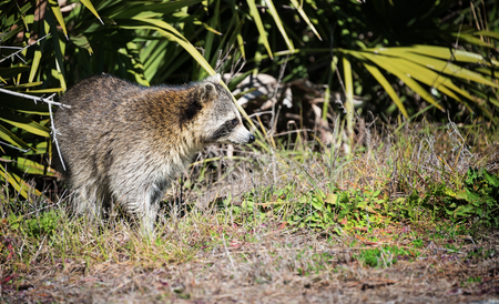 refuge: Curious racoon in the St. Marks National Wildlife Refuge, Florida.