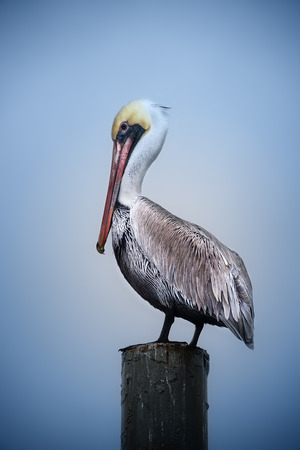 Brown Pelican resting on dock post in Florida Banco de Imagens