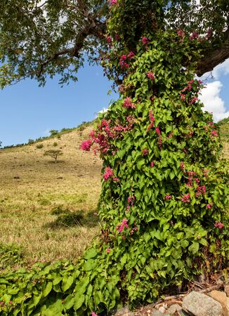 flowering field: A pink Mexican creeper vine growing on a tree in St. Maarten in the Caribbean