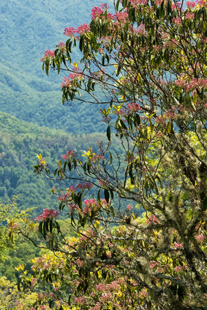 laurel mountain: Mountain laurel bush on the side of the Blue Ridge Parkway, North Carolina