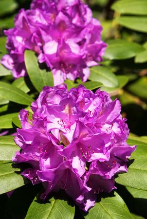 blooming  purple: Violet Rhododendron bush in full bloom