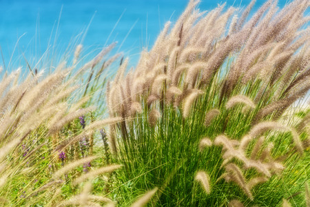 Live sea oats with a soft focus along the coast of Cabo San Lucas, Mexico Stock Photo
