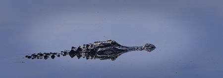 American Florida Alligator swimming in the wetlands