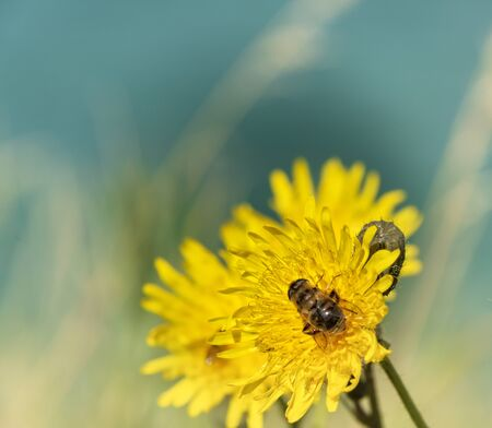 A bee on a dandelion flower in Northern Ireland