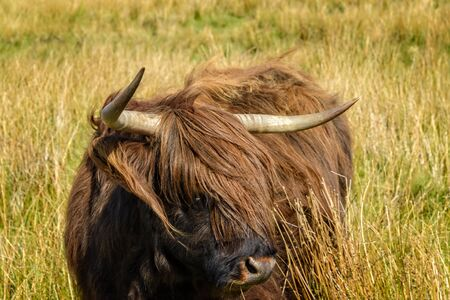 Highland cattle are a Scottish cattle breed. They have long horns and long, wavy, woolly coats and are often referred to as hairy coos. Imagens