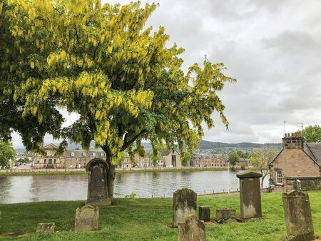 Golden Chain Tree, or Rain Tree, is typical in Scotlands graveyards.