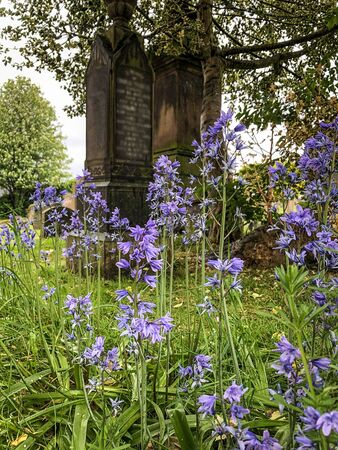 Common Bluebell flower in graveyard in Inverness, Scotland. Imagens