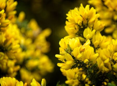 Yellow gorse (Ulex) flowers in Scotland.  It is also called Whin or Furze. Imagens
