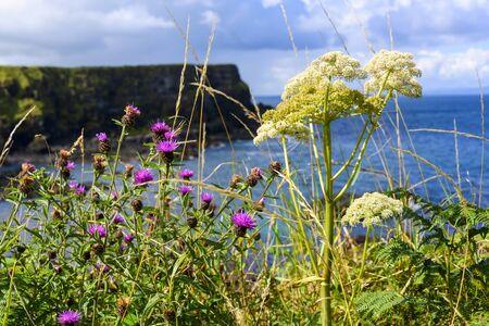 Abundant supply of wild flowers along the Antrim Coast at Giants Causeway in Northern Ireland