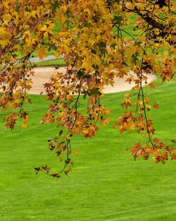 Golden Sweet Gum tree on a golf course in North Carolina Imagens