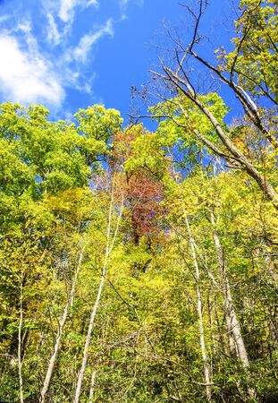 Tall trees reach for the blue skies in autumn