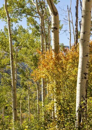 Colorful tree among the white bark aspens