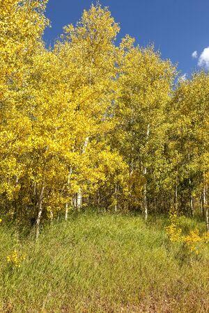 Golden aspen trees in a meadow in Colorado