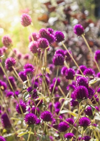 Meadow of purple clover blooming in the sunlight