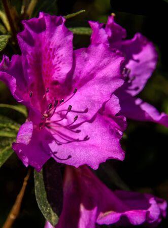 Blooming Pink Azalea Flower with dark background