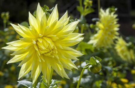 Yellow Chrysanthemum in Flower Garden Imagens