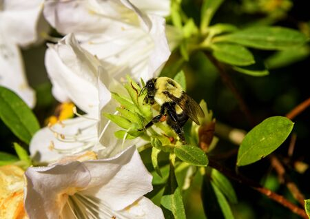 Bumblebee on an azalea bush