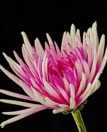 Pink and white Chrysanthemum Flower on a black background Imagens