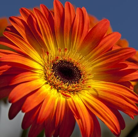 Blooming colorful Gerber Daisy Flower