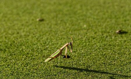 Praying Mantis, with cockroach in grasp, cleaning the other claw on a grassy field