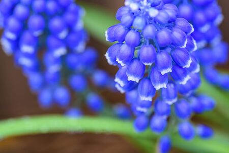Spring time cluster of Muscari flowers with purple bell-shaped flowers and green stems