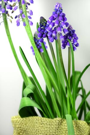 Cluster of Muscari flowers with bell-shaped buds on a white  and burlap bag. Imagens