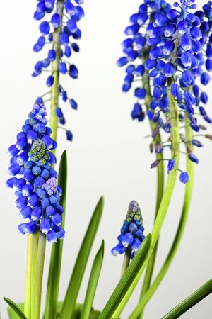 Cluster of Muscari flowers with bell-shaped buds on a white
